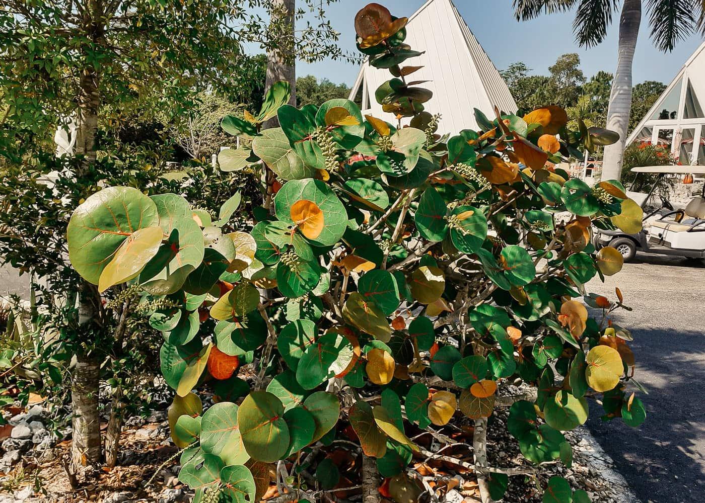 PyramidsinFlorida Sea Grape