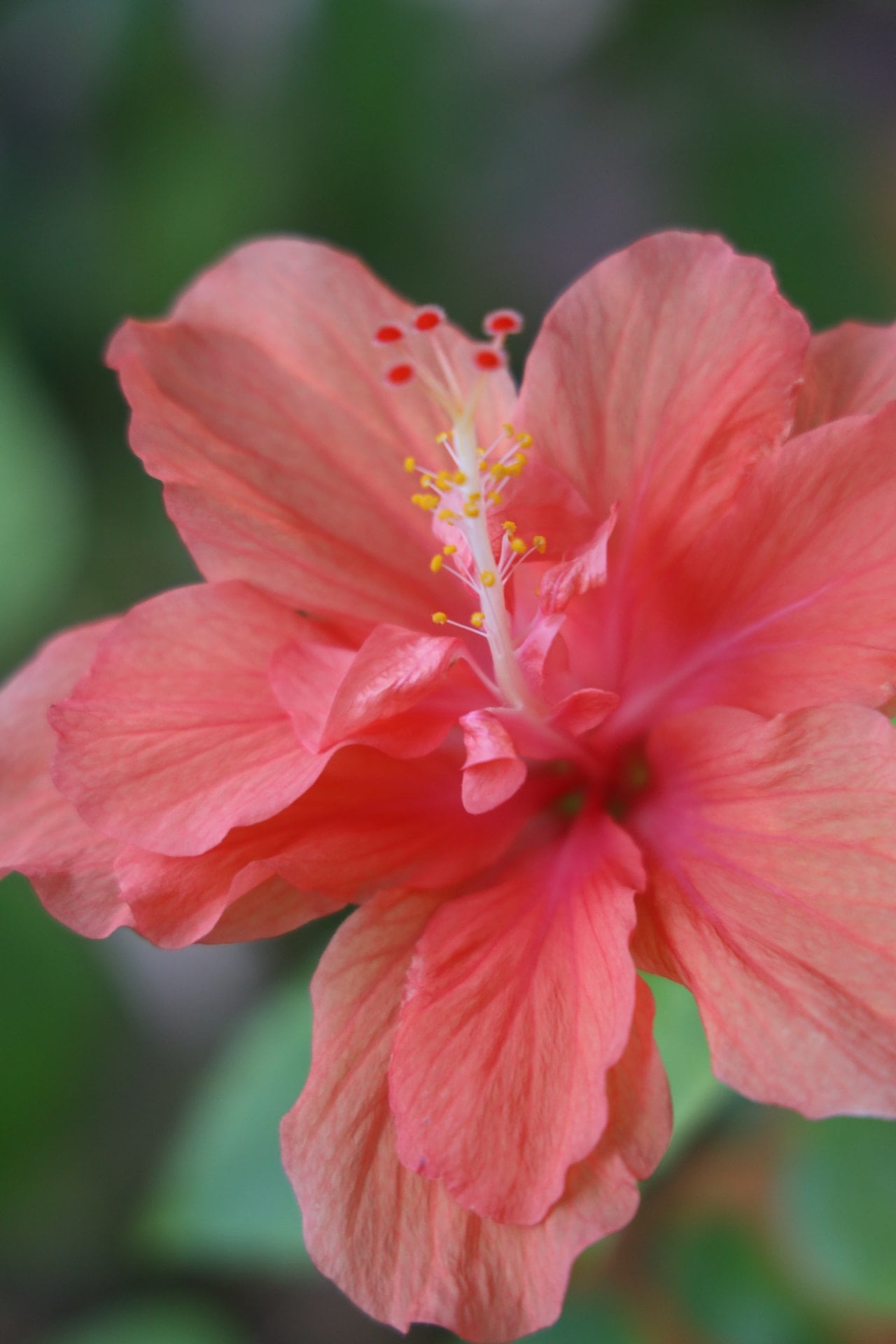 A rose hibiscus flower that can be used for various medicinal purposes