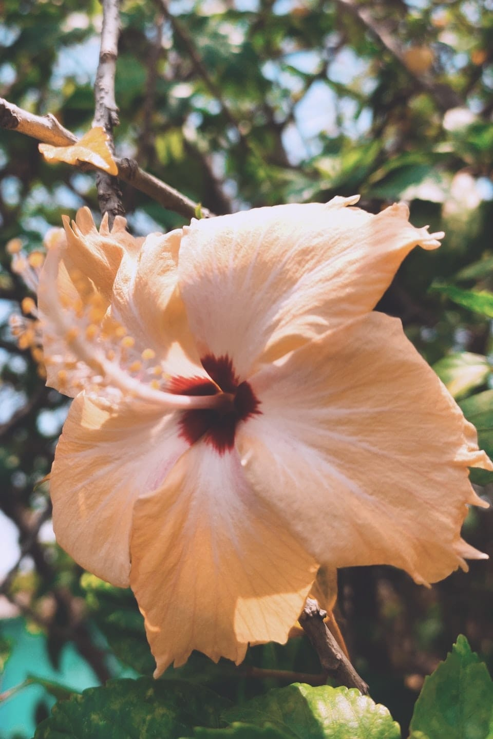 A yellow hibiscus flower that can be used for various medicinal purposes